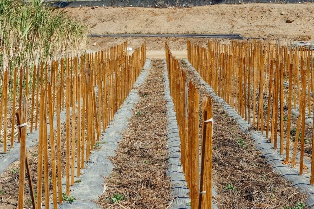 Sugarcane harvested for sugar plastics